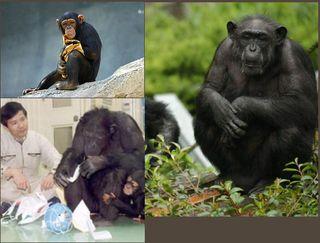 チンパンジーa